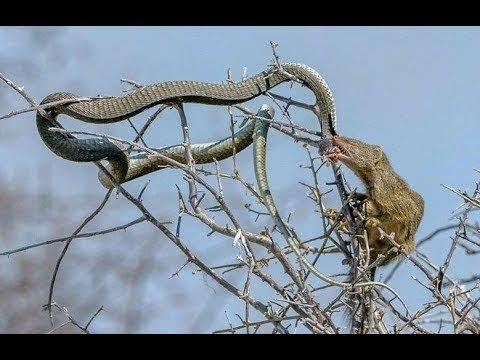 Chồn vs Rắn Hổ Mang Đánh nhau như phim hành động | Death the desert King Cobras