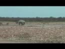 Lion vs Rhino - Buffalo vs Rhino - Real Fight Wild Animal Attacks