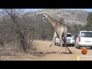 Giraffe Tries Saving her Calf From Hunting Lions