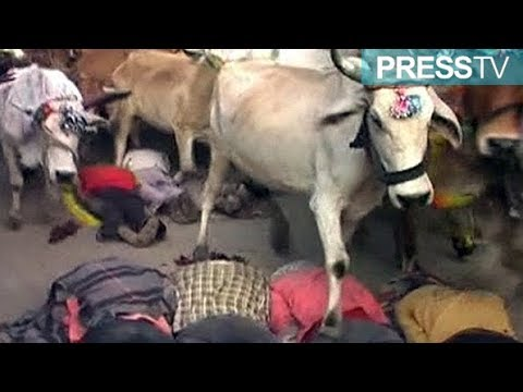 400 Indian men volunteer to be trampled by cows in Hindu ritual
