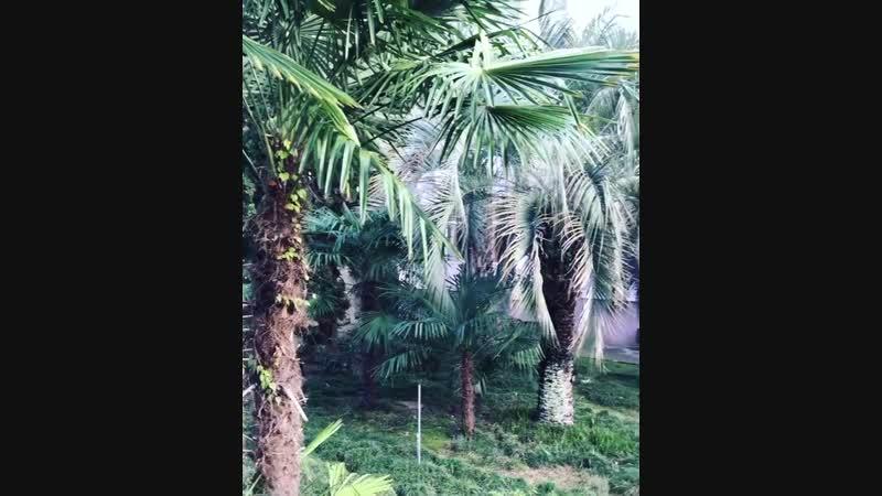 Зима в Сочи🎄 Декабрь🎁 Пальмы и ёлочка☃️🎄🎁🎅🏻🎉❄️