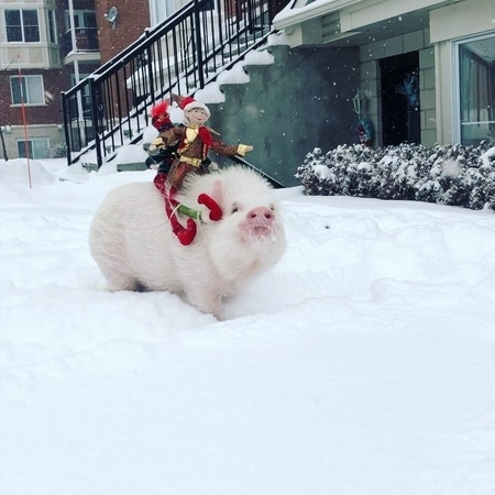 """Fat beefcake on Instagram: """"I miss Christmas 🎄 ; -; it's been 20 days :( @christopher_the_pig SO PINK SO CUTEEE SO FLOOF😍 imisschristmas christ..."""