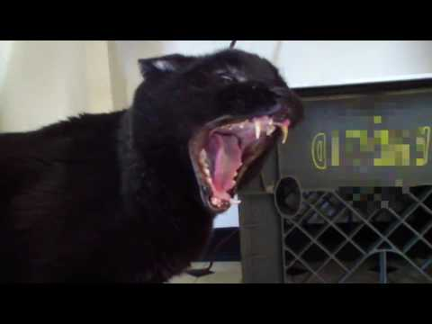 Talking Kitty Cat 30 Demon Cat
