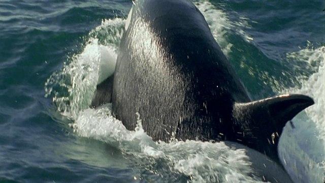 BBC: Морские гиганты: Жизнь гигантов (2011)