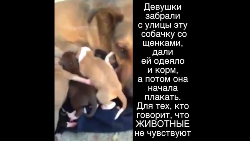 Собакины слезы