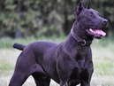Black canis panther