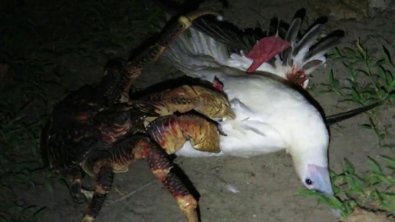 Кокосовый краб ест чайку живьем