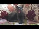 Альберт - голубой котенок