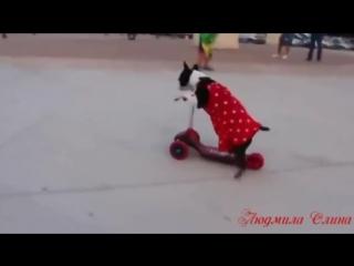 Умора.. собаки ездят на велосипеде,скейте и самокате... приколКА