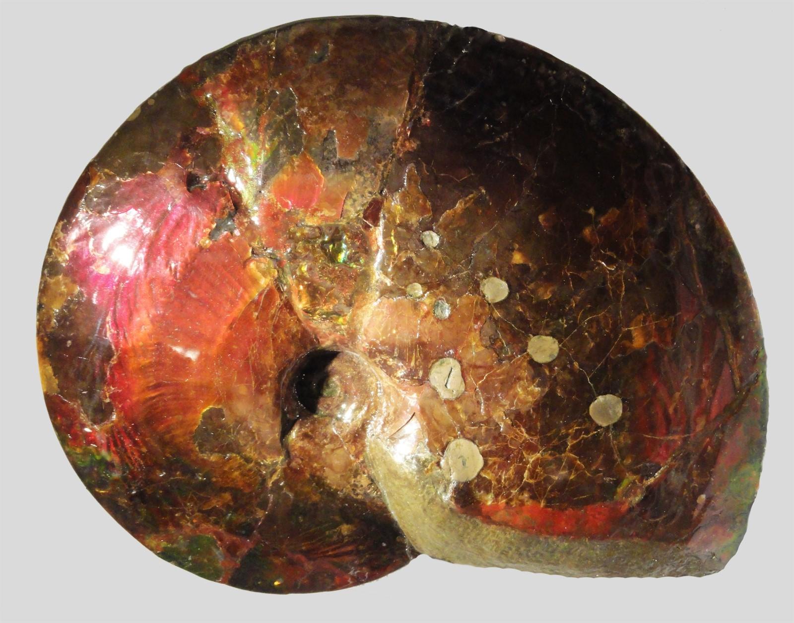 Аммолитовый аммонит