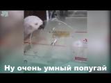 Ну очень умный попугай