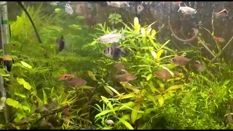 АкваМир - Тетра Конго (Phenacogrammus interruptus)
