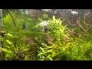 АкваМир - Тетра Конго Phenacogrammus interruptus
