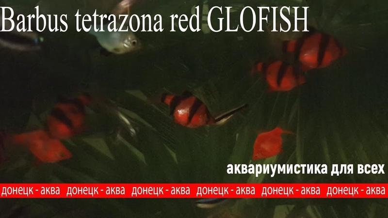 красный суматранский барбус глофиш, Barbus tetrazona red GLOFISH, аквариумные рыбки