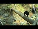 Медведь настроил фотоловушку на Земле леопарда \\ Bear and camera trap in Leopard Land