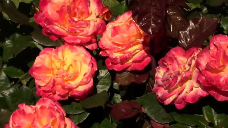 Rose Garden Portland Oregon. Сад Роз Портланд Орегон polozov1783
