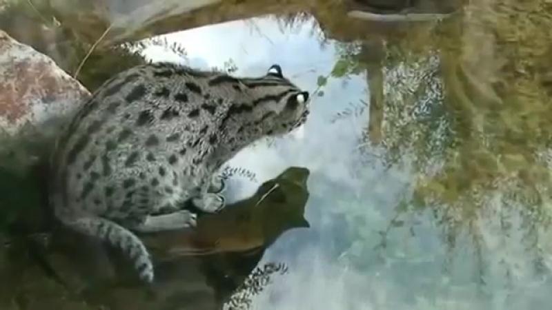 Камышовый кот рыбачит!Видео с кошками-spian--scscscrp