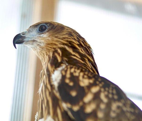 В Усть-Илимске вылечили и готовятся выпустить на волю коршуна и орлана-белохвоста