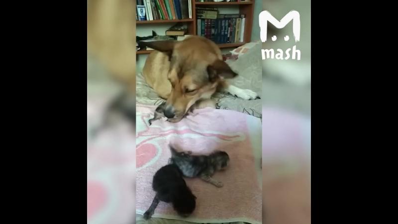 Собака стала мамой для шестерых котят