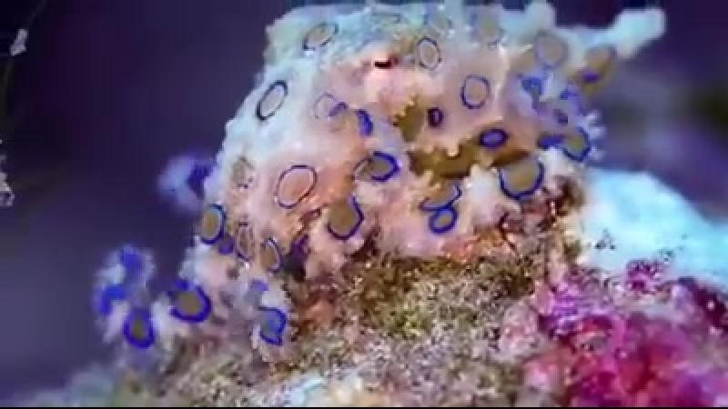 Голубой кольчатый осьминог