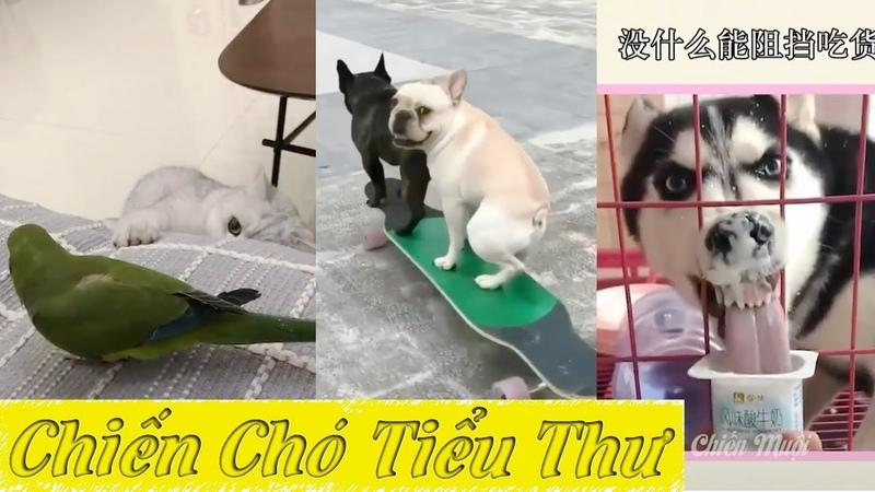 Con Sen mất nết toàn quay tật xấu của ta đưa lên Tik Tok ❤️ Cười ỉa với Boss cưng ChienChoTieuThu