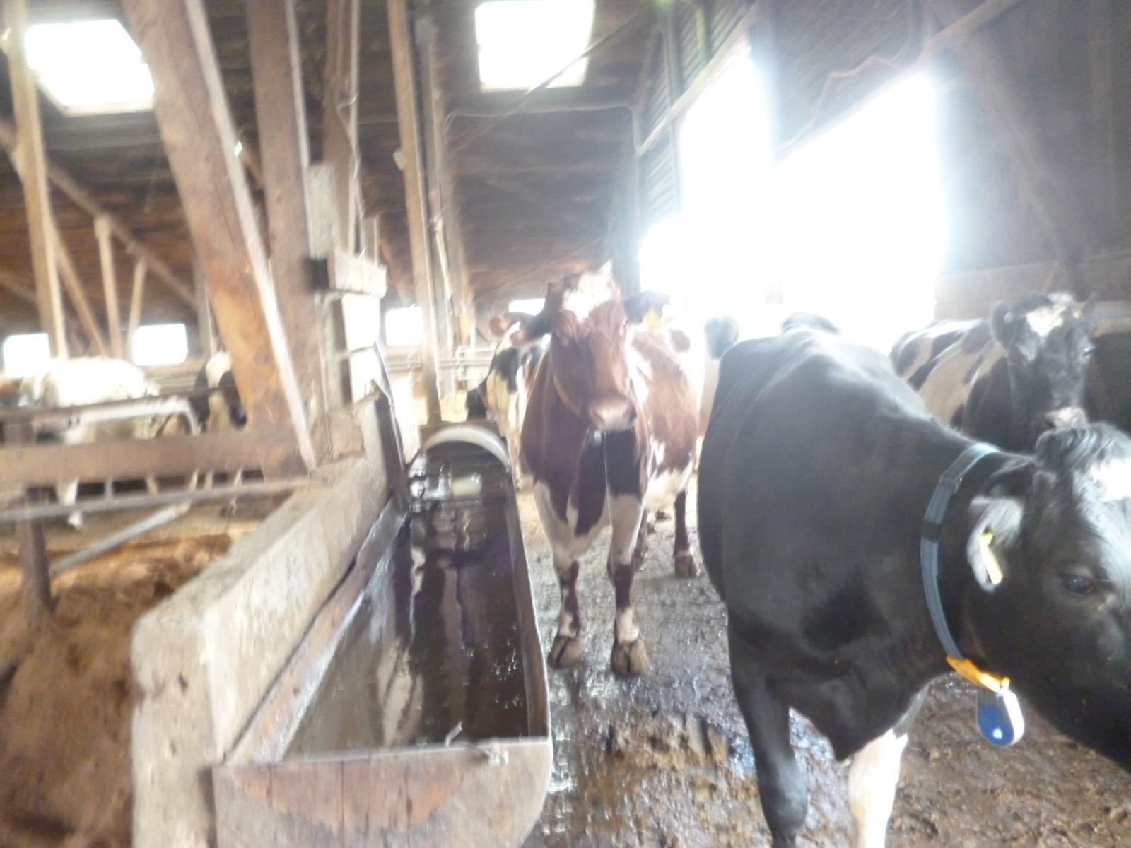 Могут ли быть чистыми коровы на ферме?