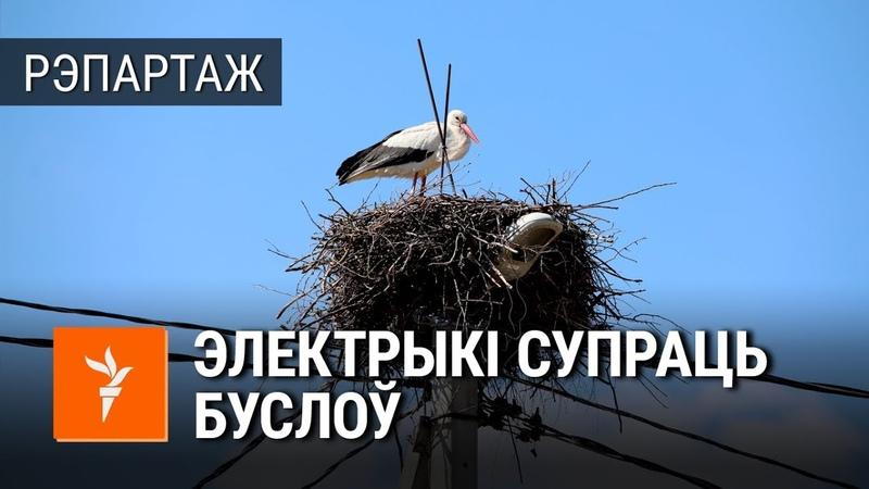 «Вайна» электрыкаў з бусламі каля Белавескай пушчы <РадыёСвабода>