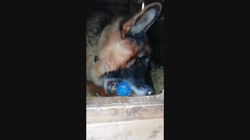 Мухтар и его любимый мячик 🎾