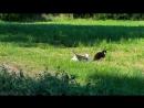 В мире животных - забияка Мирон