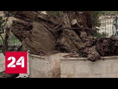 Апокалипсис близко В Палестине рухнул дуб Авраама - Россия 24