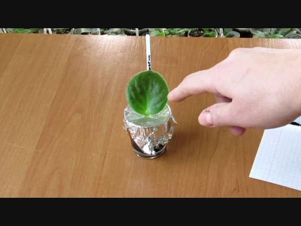 Укоренение черенков фиалки в воде и в перлите