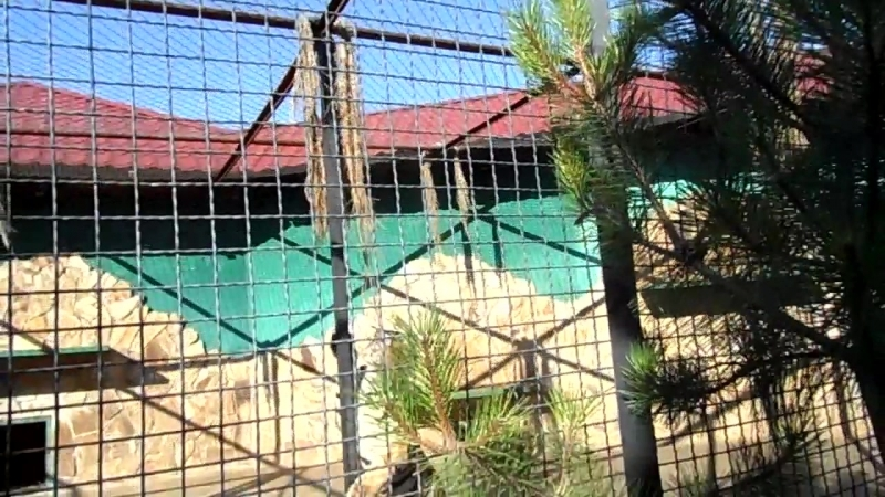 Парк львов Тайган. Тигра прыгун.