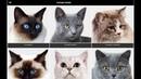 Породы кошек - бесплатное приложение для android.