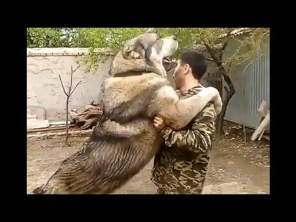 Caucasian volkodav Khazar (95cm, 103kg.)