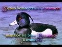 Черно белые утки с хохолком ныряют на реке Пехорка. Балашиха.
