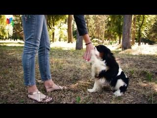 Дрессировка команды 'Дай лапу'- Как правильно дрессировать собаку - Дрессировка и воспитание собак