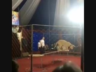 Львица напала на 3-х летнюю девочку