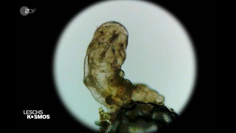 Totes Bärtierchen erwacht zum Leben (Tardigrada, Water Bear )