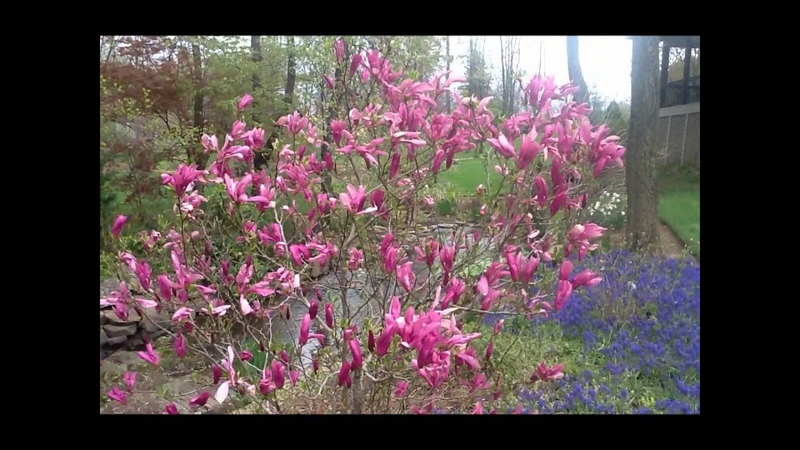 Best Flowering Shrubs - Magnolia Jane Betty