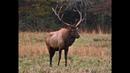 Cataloochee Elk Herd, 2018.
