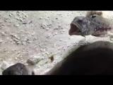Вы когда-нибудь видели как рыбы выясняют отношения?