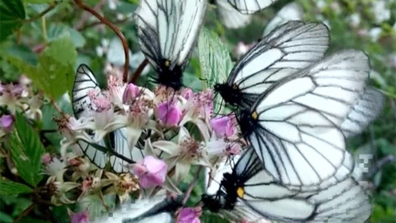 Butterflies cluster at valley bottom for cool air in southwest China