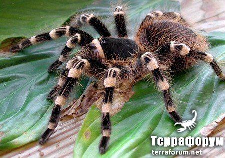 Acanthoscurria-geniculata