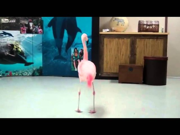Розовый фламинго танцует! Удивительное видео