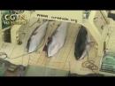 Японские китобои убили 333 кита в этом году