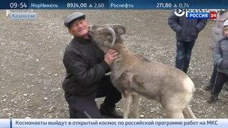 Новости на «Россия 24» • Полиция хочет отобрать у жителя Казахстана ручного архара-футболиста