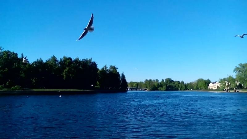 Чайки у Елагина острова