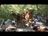 Сюжет ТСН24 Жители Заречья жалуются на стаю собак