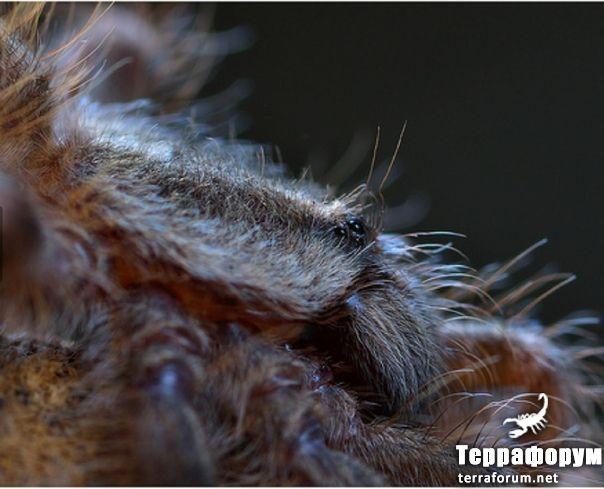 Poecilotheria tigrinawesseli