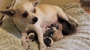Denver's fourth puppy (Chihuahua Pug Mix Giving Birth)